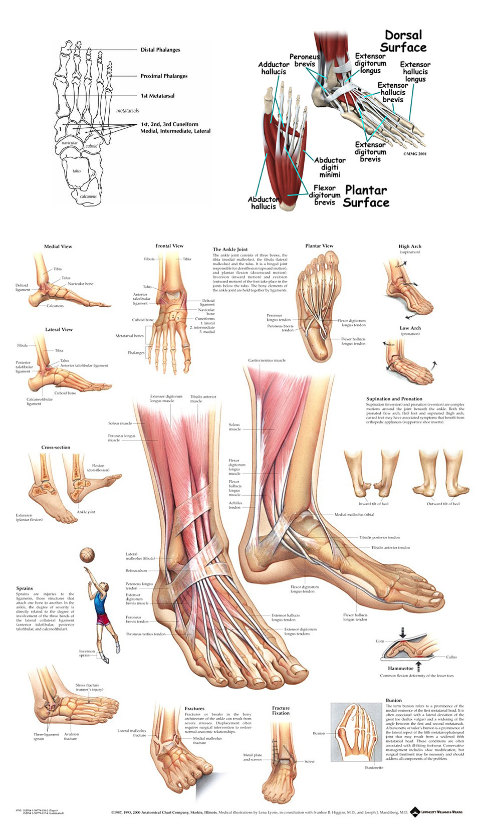 Anatomy of the Foot and Ankle Diagram